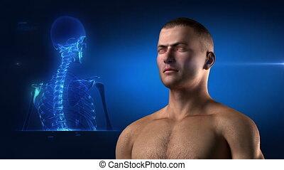 medisch, skelet, aanzicht