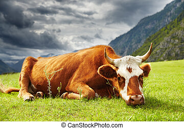Meditative cow on the mountain pasture