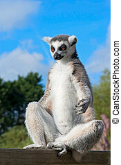 Meditative ring-tailed lemur - Ring-tailed lemur (Lemur...