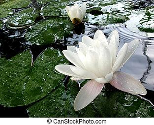 meditativo, blanco, loto