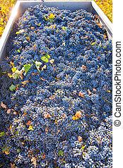 mediterráneo, viña, cosecha, uva de cabernet sauvignon,...