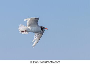 Mediterranean gull in flight over the sea