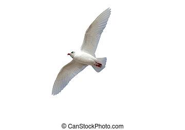 Mediterranean gull, Larus melanocephalus, single bird in...