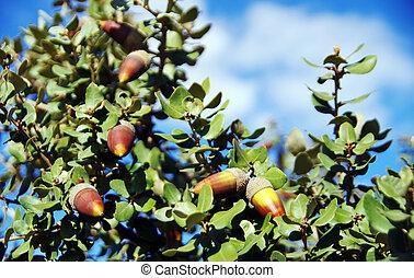 mediterranean ripe acorns on branch