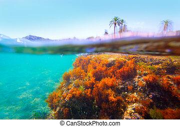 Mediterranean underwater seaweed Denia Alicante spain - ...