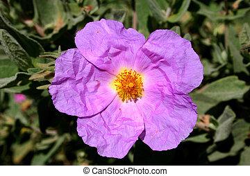 Mediterranean violet