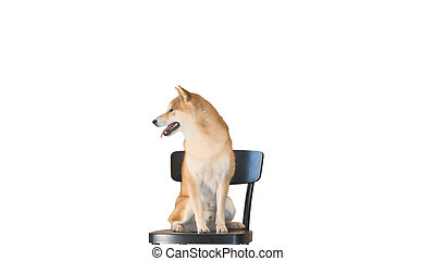 Cute smiling puppy Shiba Inu dog sitting on a chair on white bac