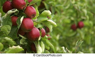 Medium shot of a group of apples on a tree - Medium shot of...