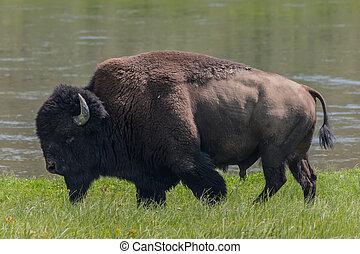 Medium Shot of American Bison