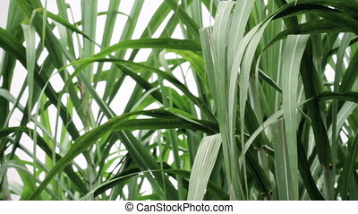 medium shot of green sugarcane leafs - Green leafs of...