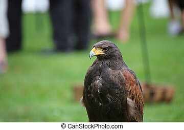 Medium shot of Harris hawk (Parabuteo unicinctus).