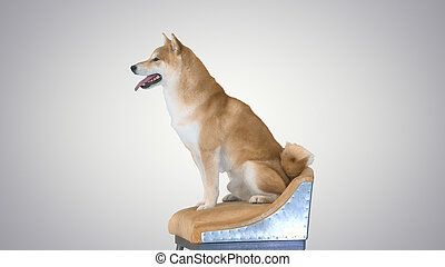 Shiba Inu dog sitting on a chair on gradient background.