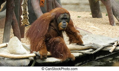 Tired orangutan sitting on a branch in the.