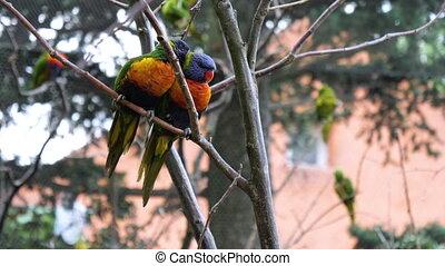 Two superb parrot on a brunch.