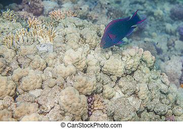 Medium size blue scarus fish