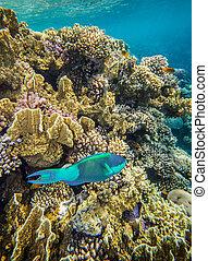 Medium size green scarus fish