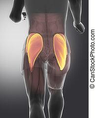 medius maximus - human muscle anatomy