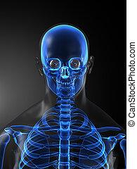 medizin, skelett, menschliche , überfliegen