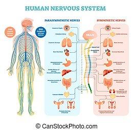 medizin, vektor, menschliche , system, parasympathetic, inner, alles, nervös, nerven, organs., verbunden, abbildung, mitfühlend, diagramm