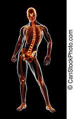 medizin, voll, skelett, menschliche , überfliegen
