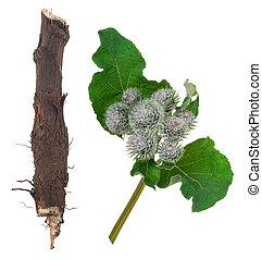 medizinisch, burdock, plant: