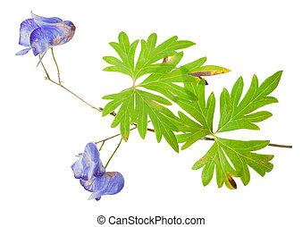 medizinisch, eisenhut, plant: