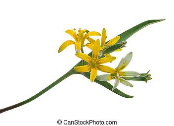 medizinisch, gagea, lutea, plant: