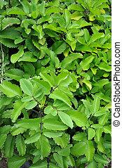 medizinisch, paichi, pflanze