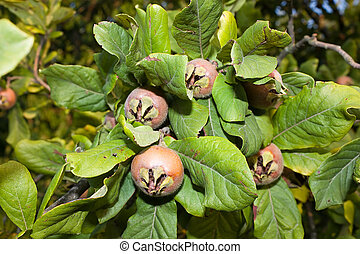 medlars - mespilus germanica - mespilus germanica, leaves ...