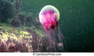 Medusa jellyfish underwater in White Sea.