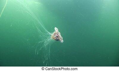 Medusa jellyfish underwater on green background of White Sea.