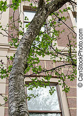 Medwediews birch (betula medwediewii) tree. Close up.