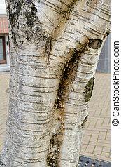 Medwediews birch (betula medwediewii) trunk. Close up.