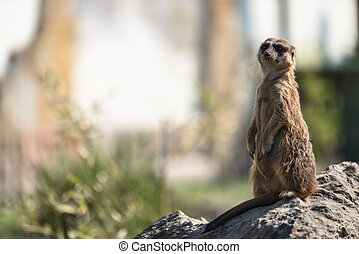 meerkat , ή , surikate