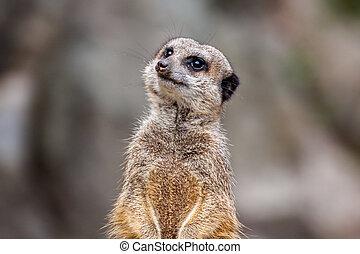 meerkat, 또는, 그만큼, suricata