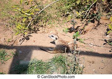 meerkat, 또는, suricate, (suricata, suricatta), a, 작다, 포유동물, 은 이다, a, 일원, 의, 그만큼, 몽구스, 가족