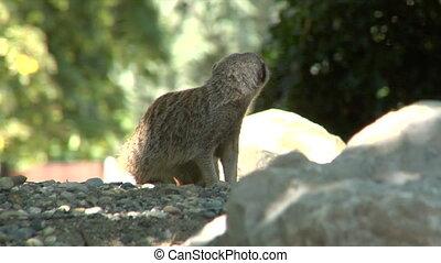 meerkat 01 - A meerkat