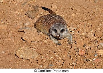 Meerkat,  animal