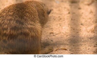 Meerkat Biting At Bug On Sand - Handheld, close up shot of ...