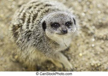 meerkat, chiudere, faccia, fuoco, su, selettivo