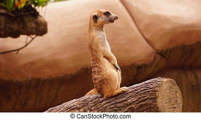 Meerkat - close-up