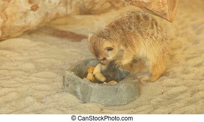 Meerkat eating in zoo