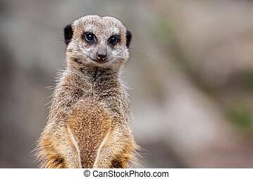 meerkat, eller, den, suricata