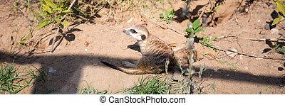 meerkat, eller, suricate, (suricata, suricatta), a, liten, däggdjur, är, a, medlem, av, den, mungo, familj