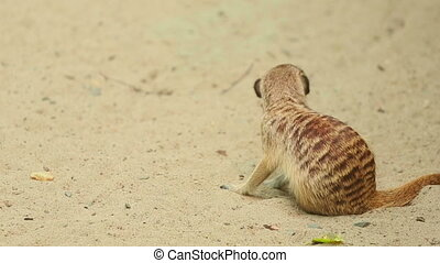 Meerkat. - Meerkats fighting off annoying bee