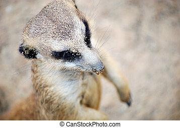 Meerkat from Above