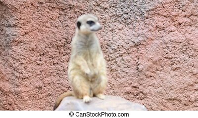 Meerkat. Geographic Range: arid, open country of the western...