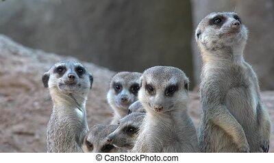 meerkat, gezin, wilde dieren