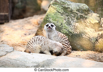 Meerkat in a Dusit Zoo,Bangkok Thailand.