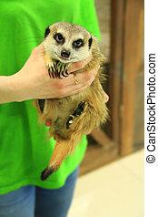 Meerkat in frendly human hands in contact zoo - Cute meerkat...